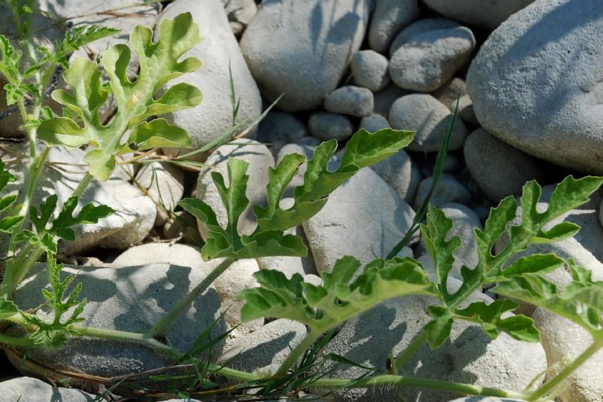 Citrullus lanatus 29