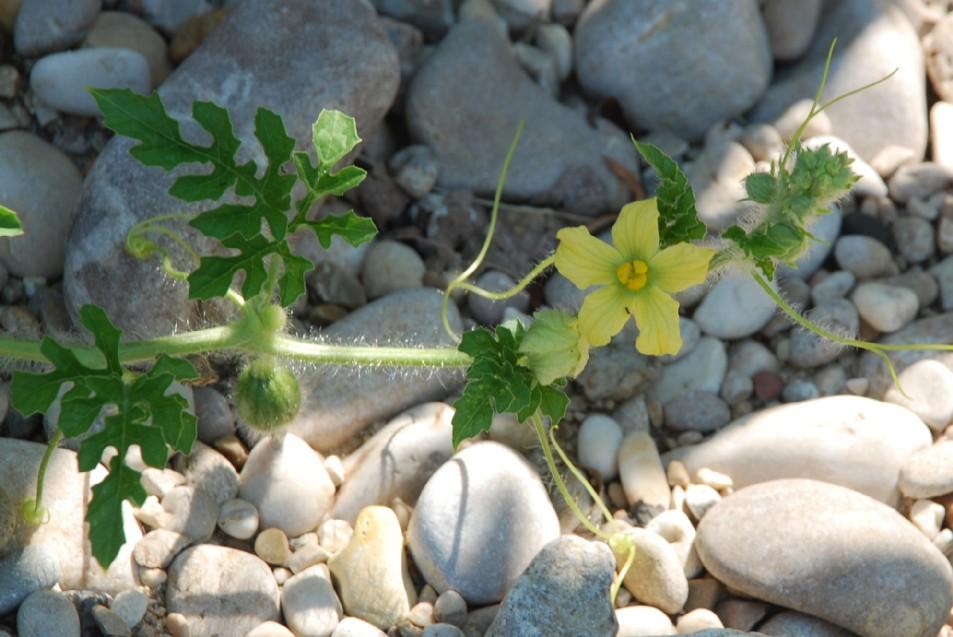 Citrullus lanatus 3