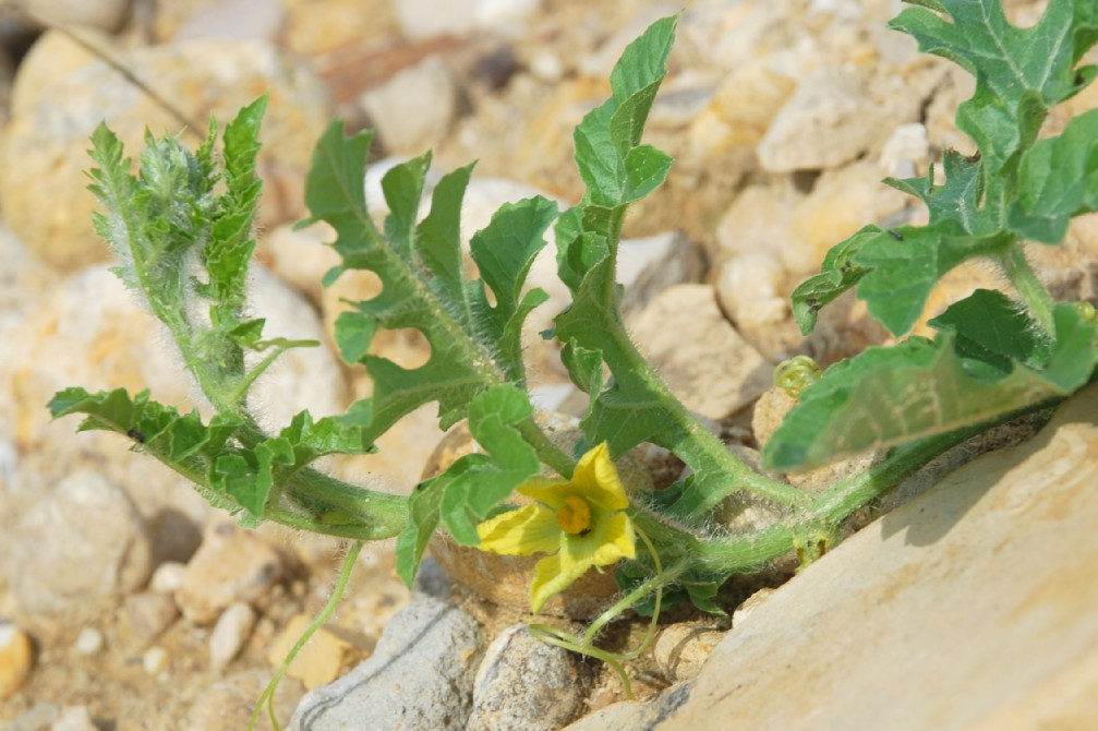 Citrullus lanatus 33