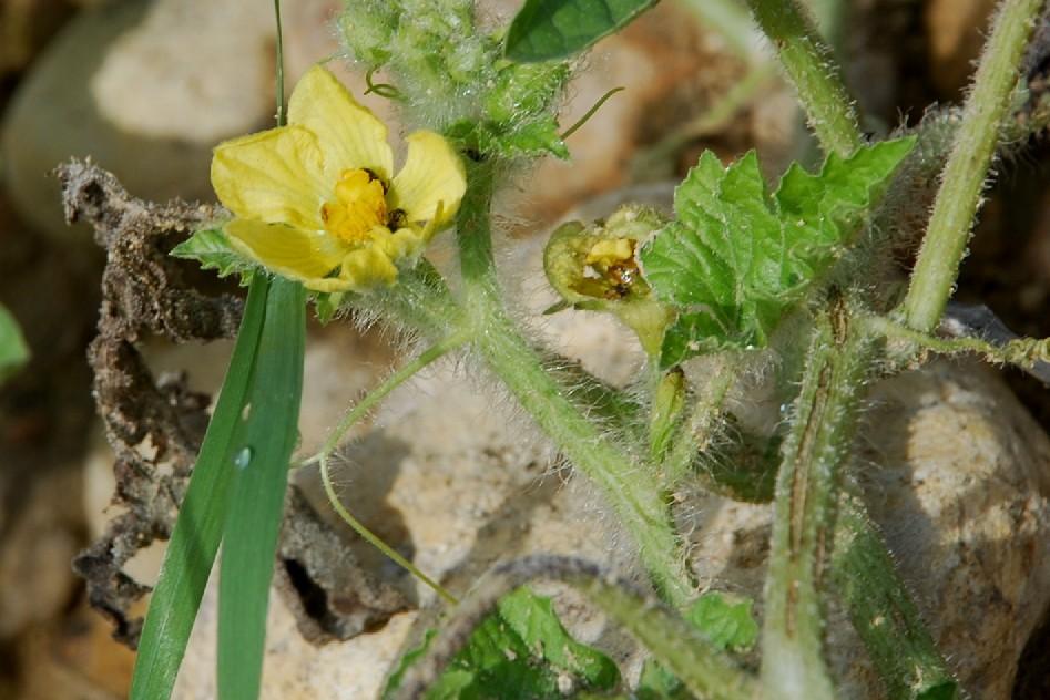Citrullus lanatus 34