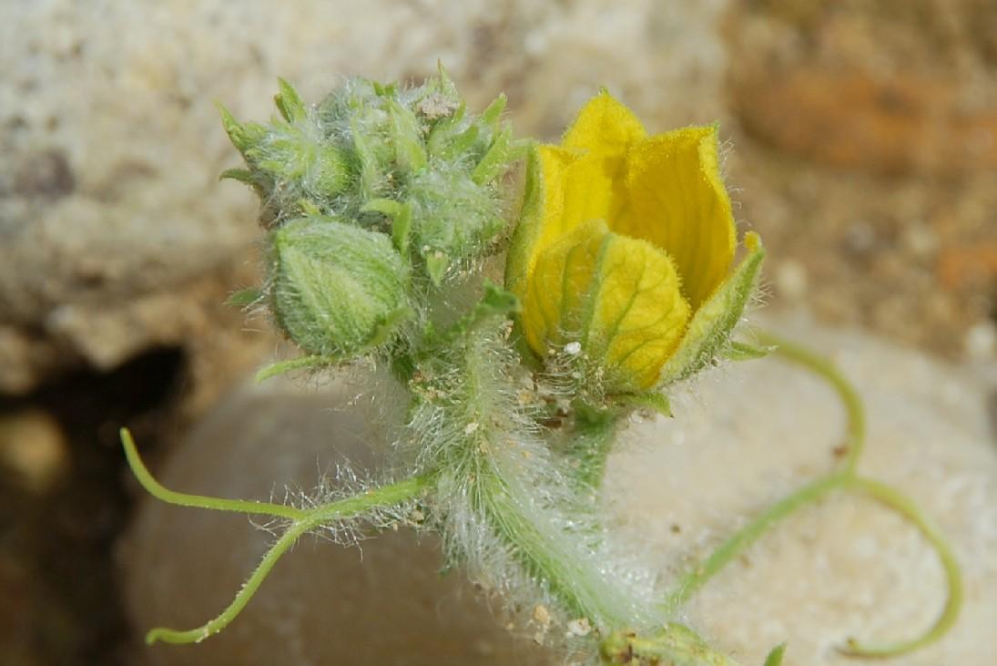 Citrullus lanatus 35