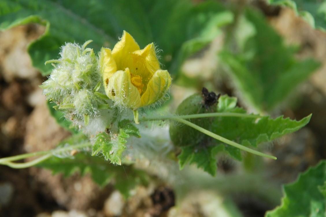 Citrullus lanatus 36