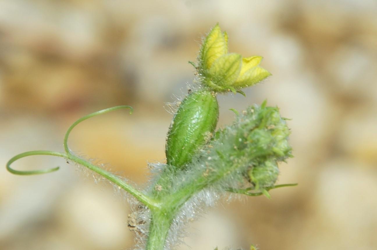 Citrullus lanatus 39