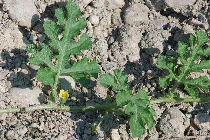 Citrullus lanatus 6
