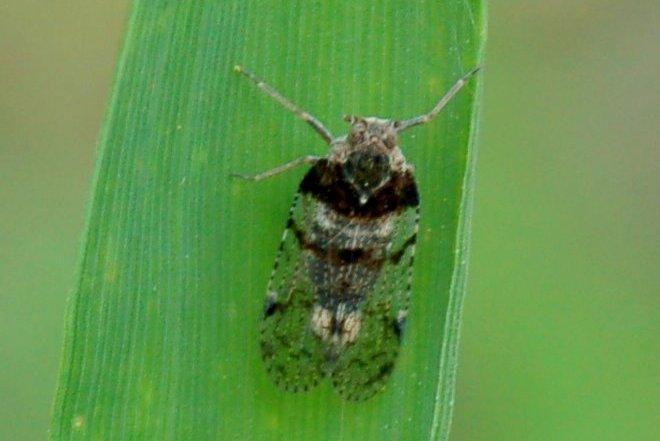 Cixius nervosus - Cixiidae