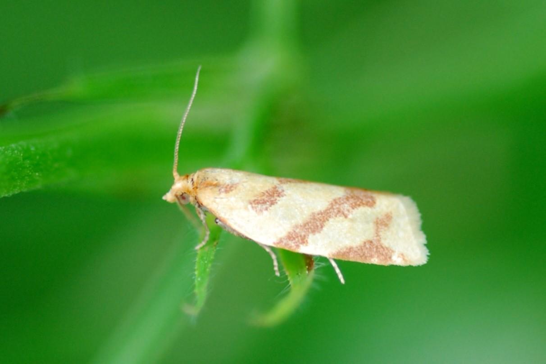 Clepsis pallidana - Tortricidae