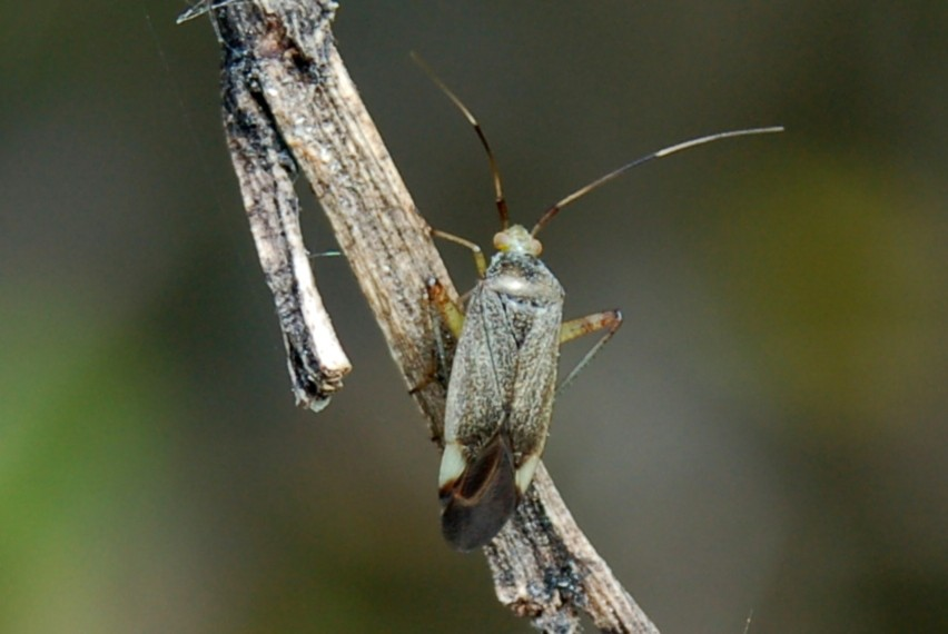 Closterotomus annulus -  Miridae