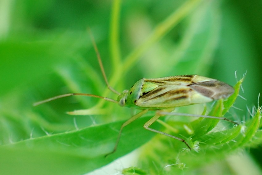Closterotomus norwegicus - Miridae