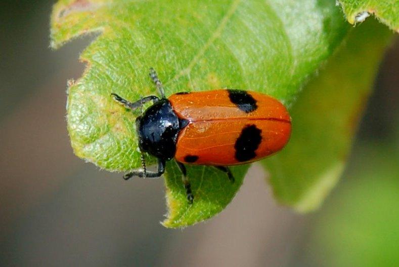 Clytra laeviuscula - Chrysomelidae