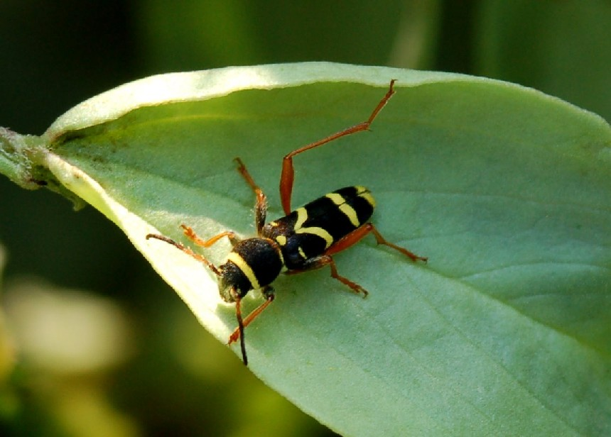 Clytus arietis - Cerambycidae