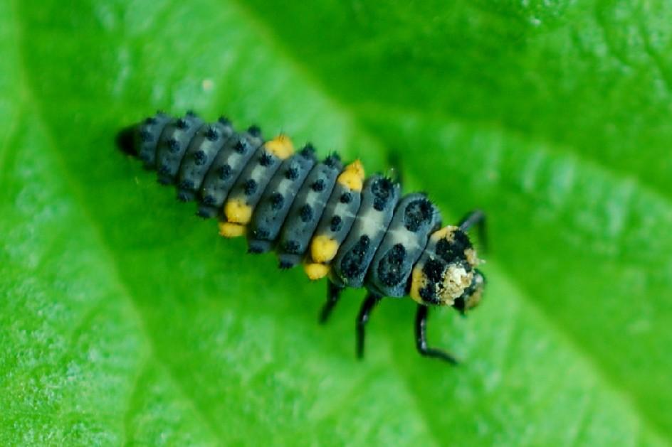 Coccinella septempunctata - Coccinellidae