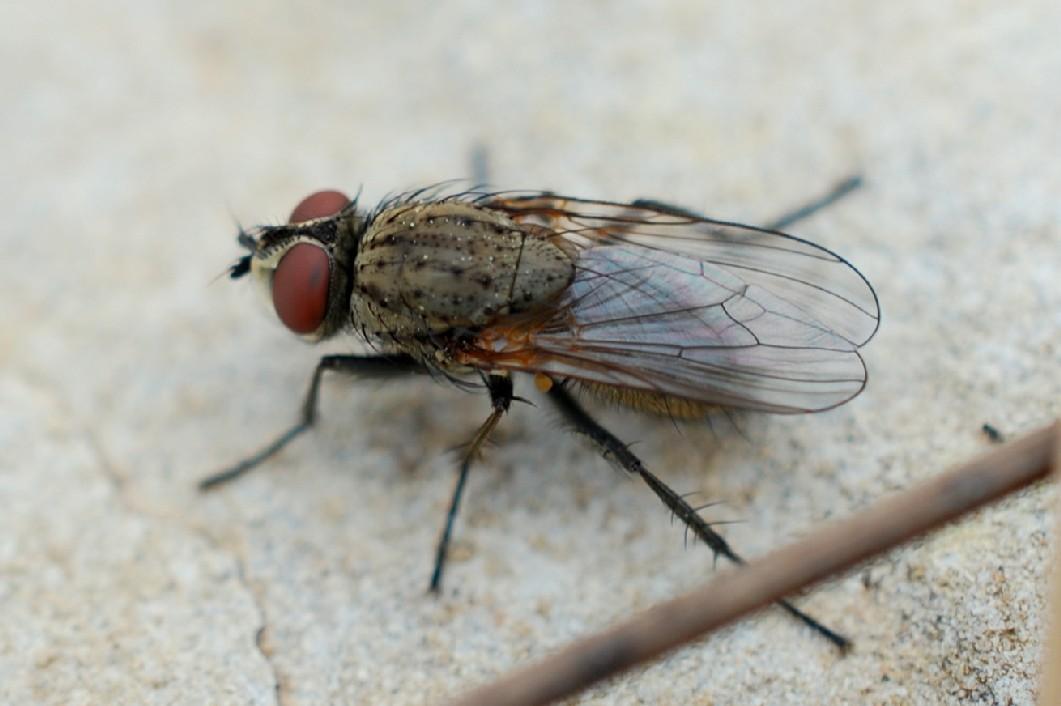 Coenosia tigrina - Muscidae