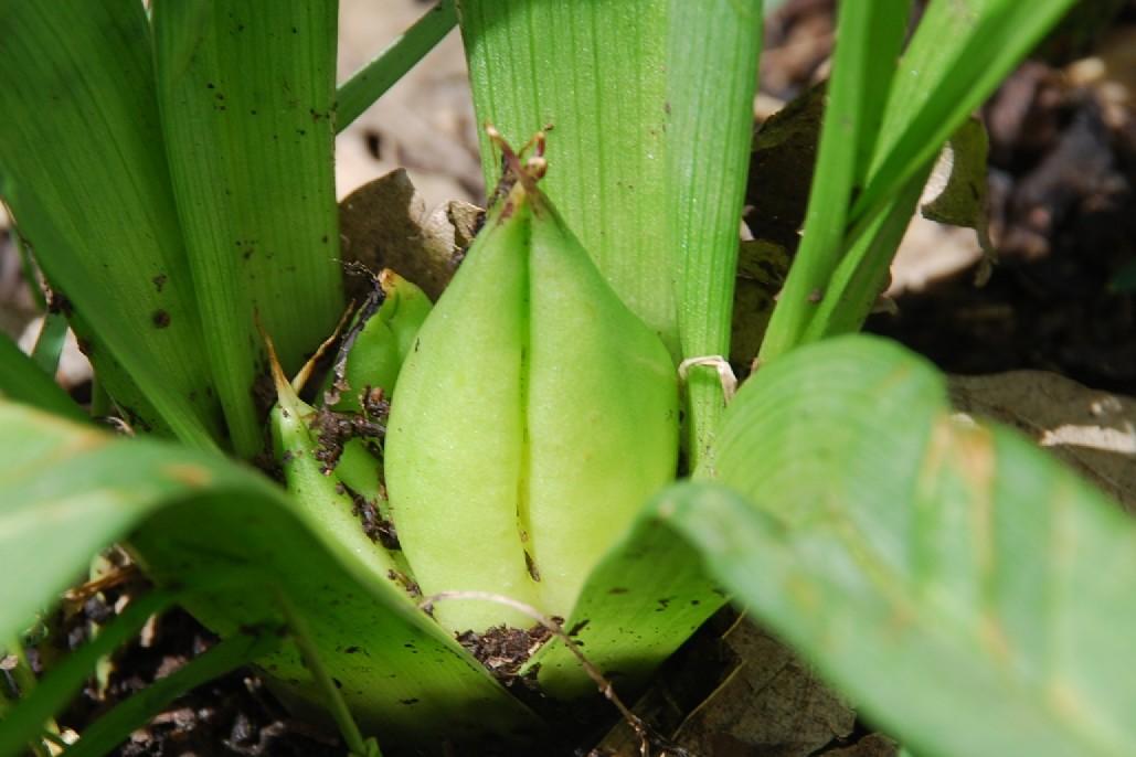 Colchicum lusitanum 6