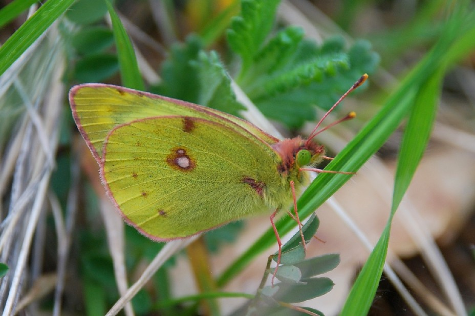 Colias crocea - Pieridae