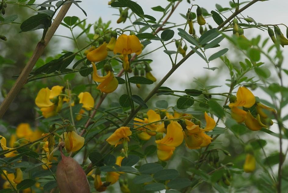 Colutea arborescens 15