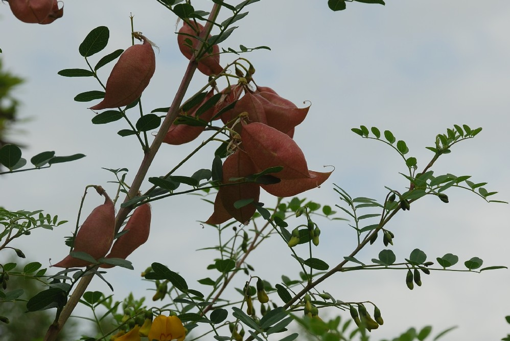 Colutea arborescens 16