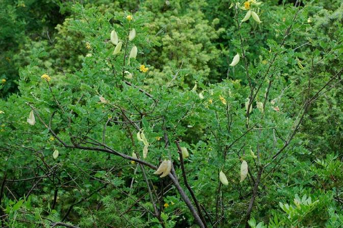 Colutea arborescens 19