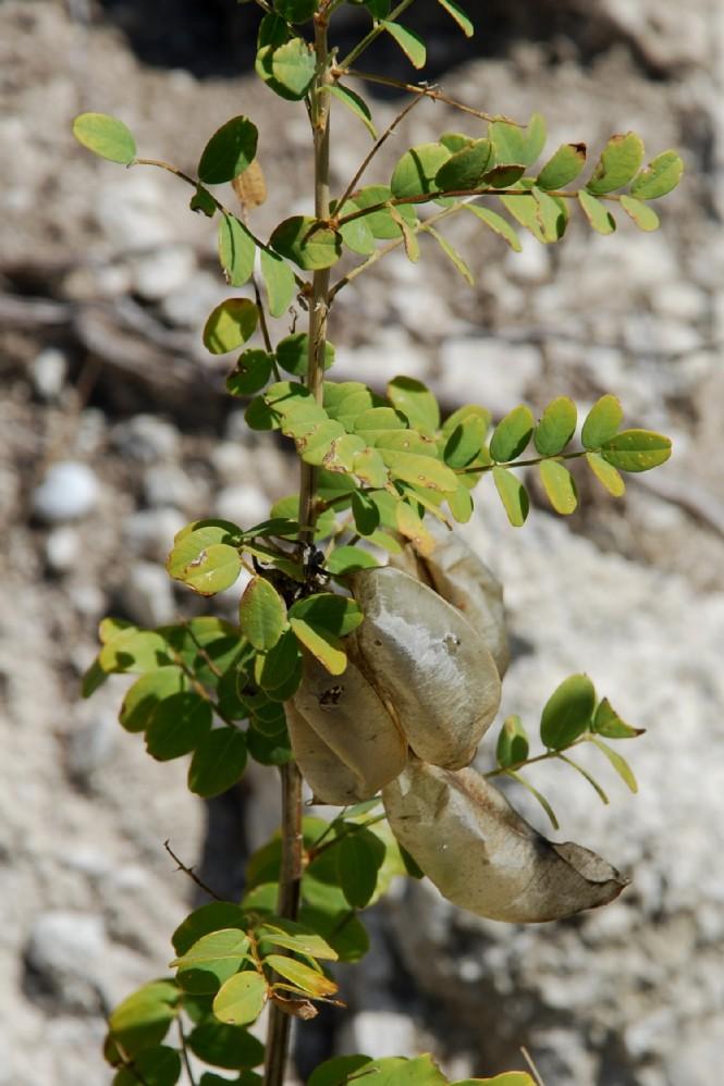 Colutea arborescens 22