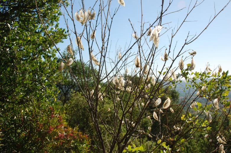 Colutea arborescens 23