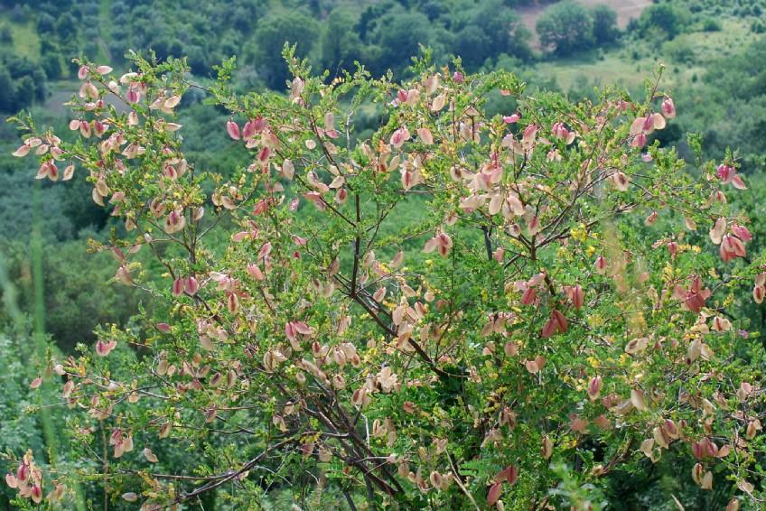 Colutea arborescens 29