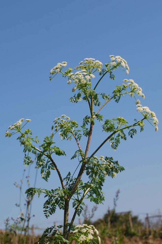 Conium maculatum subsp. maculatum 15