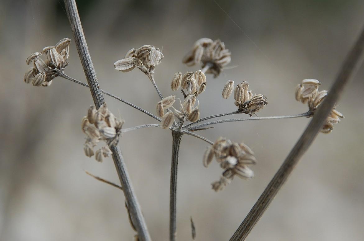 Conium maculatum subsp. maculatum 16