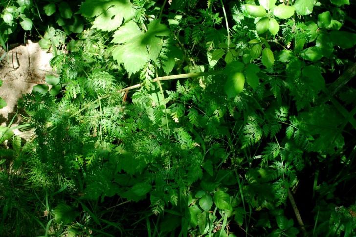 Conium maculatum subsp. maculatum 20