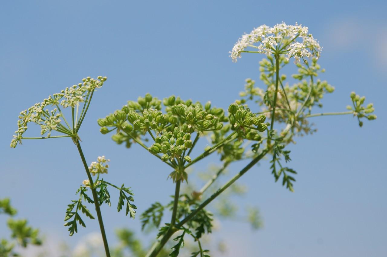 Conium maculatum subsp. maculatum 7
