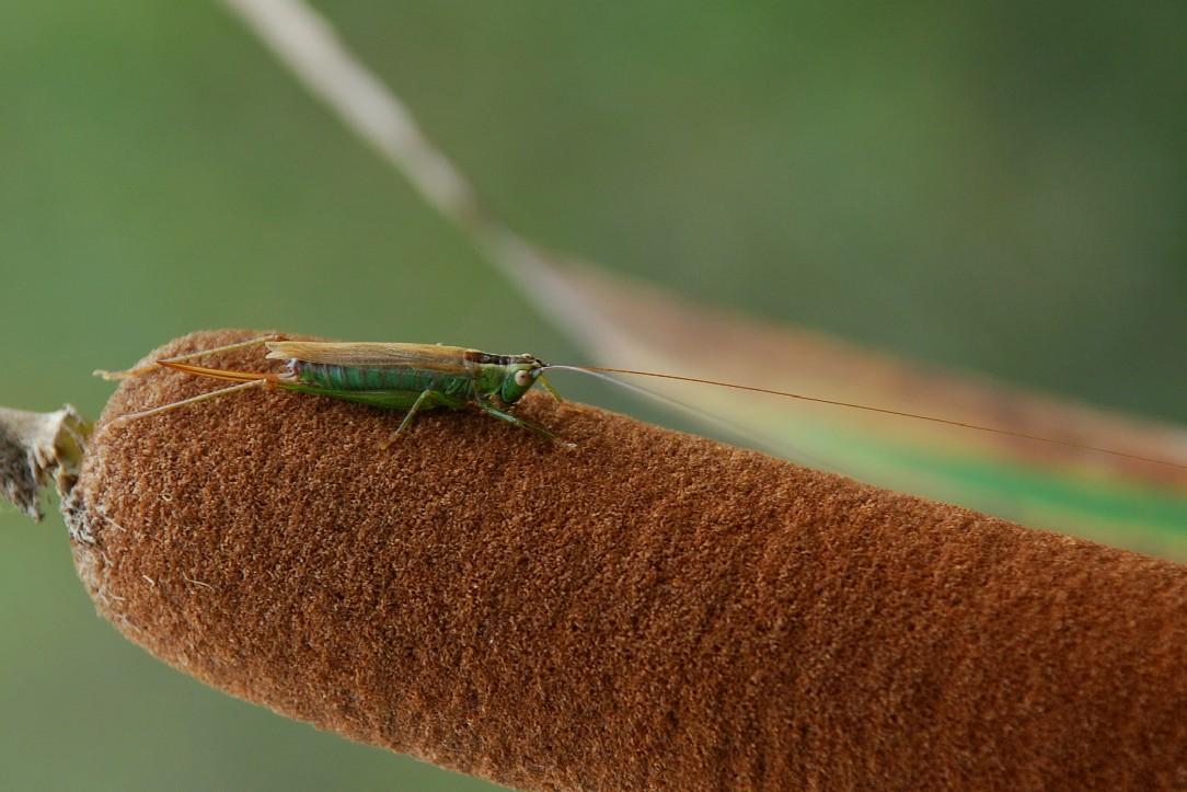 Conocephalus discolor - Conocephalidae