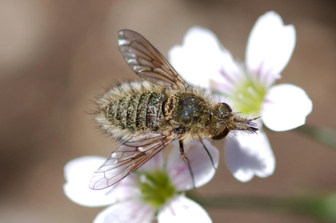 Conophorus sp. - Bombyliidae