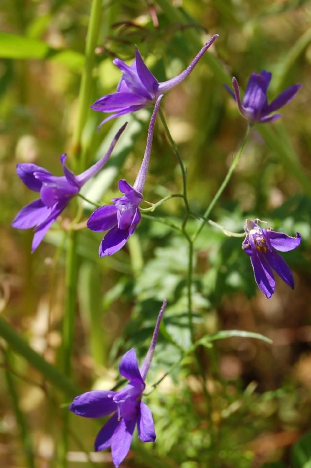 Consolida regalis subsp. regalis