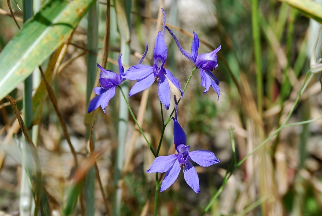 Consolida regalis subsp. regalis 11