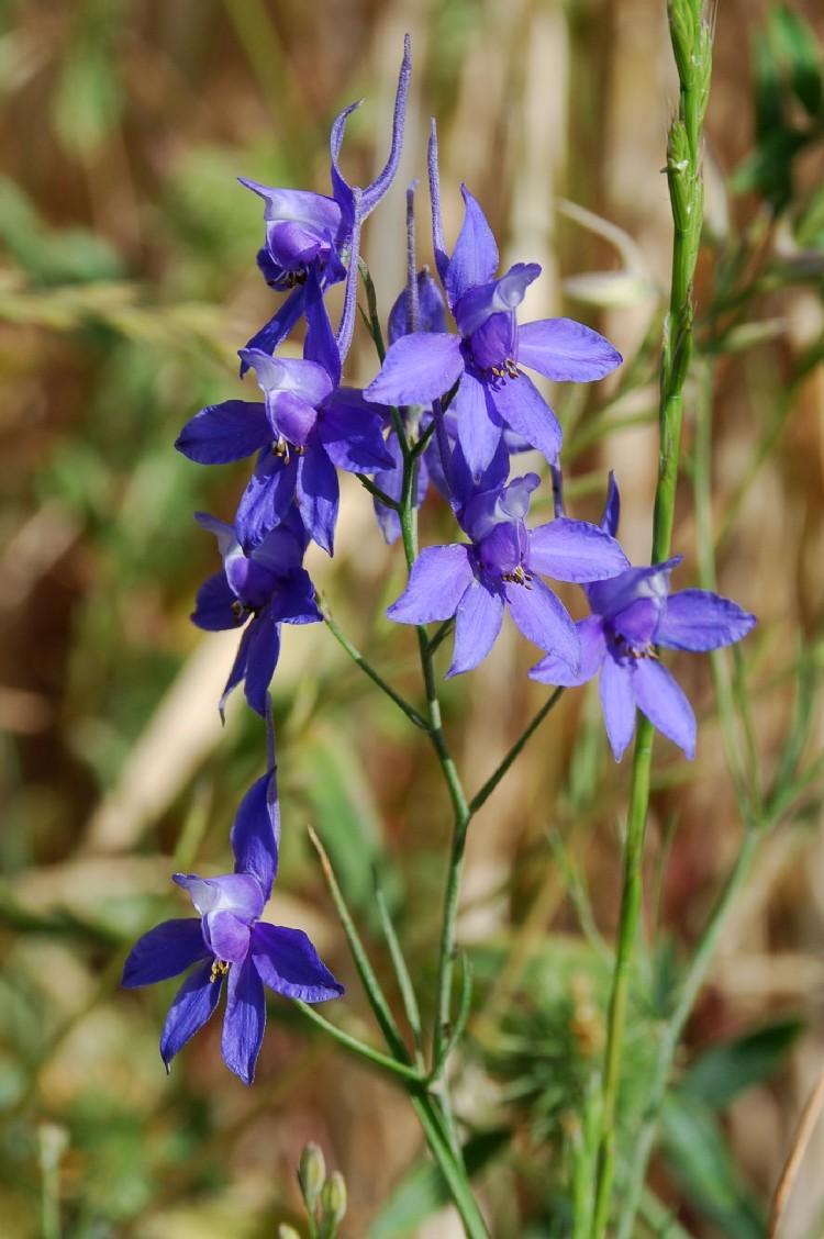 Consolida regalis subsp. regalis 13