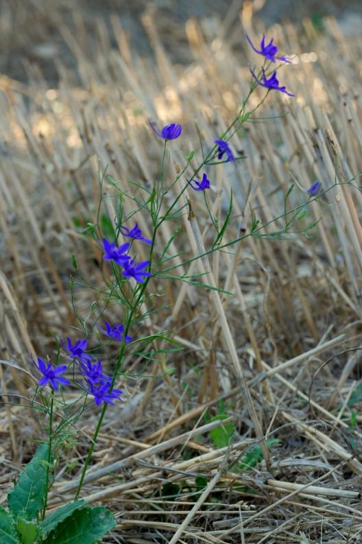 Consolida regalis subsp. regalis 4