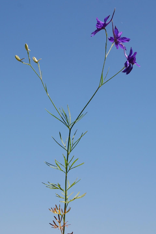 Consolida regalis subsp. regalis 6