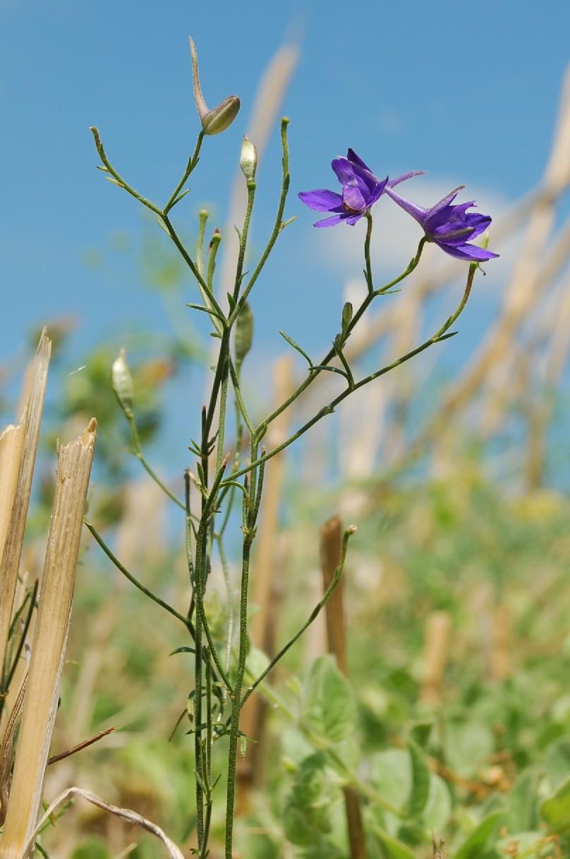 Consolida regalis subsp. regalis 7