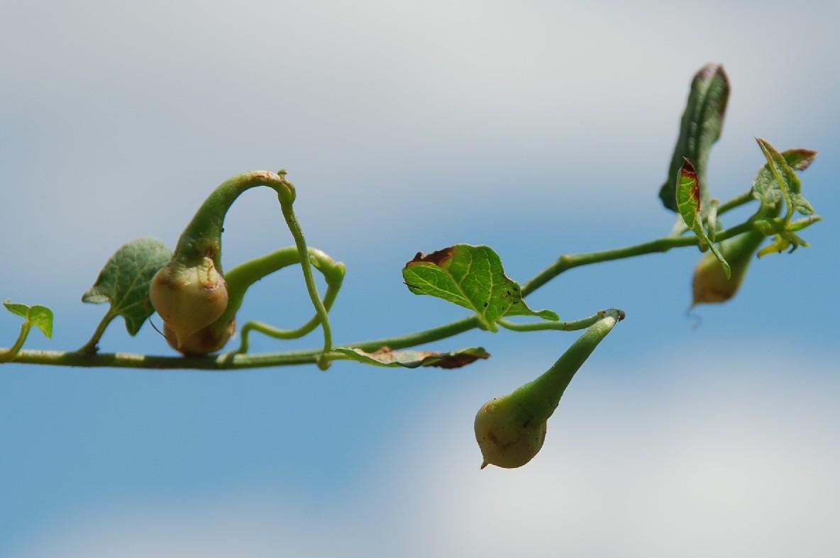 Convolvulus arvensis 6