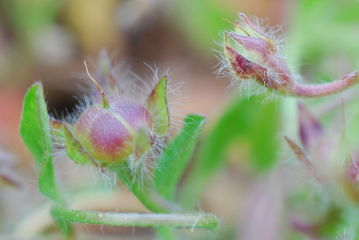 Convolvulus tricolor 35