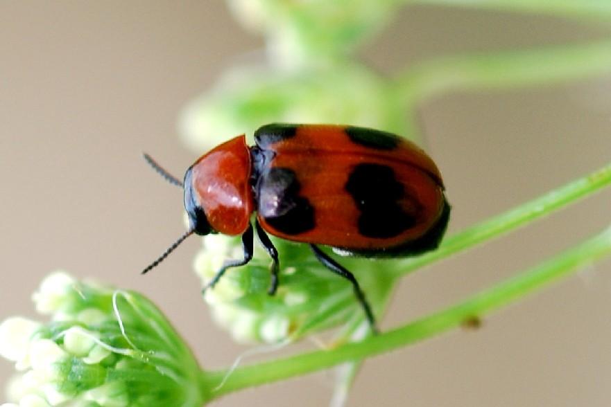 Coptocephala sp. - Chrysomelidae