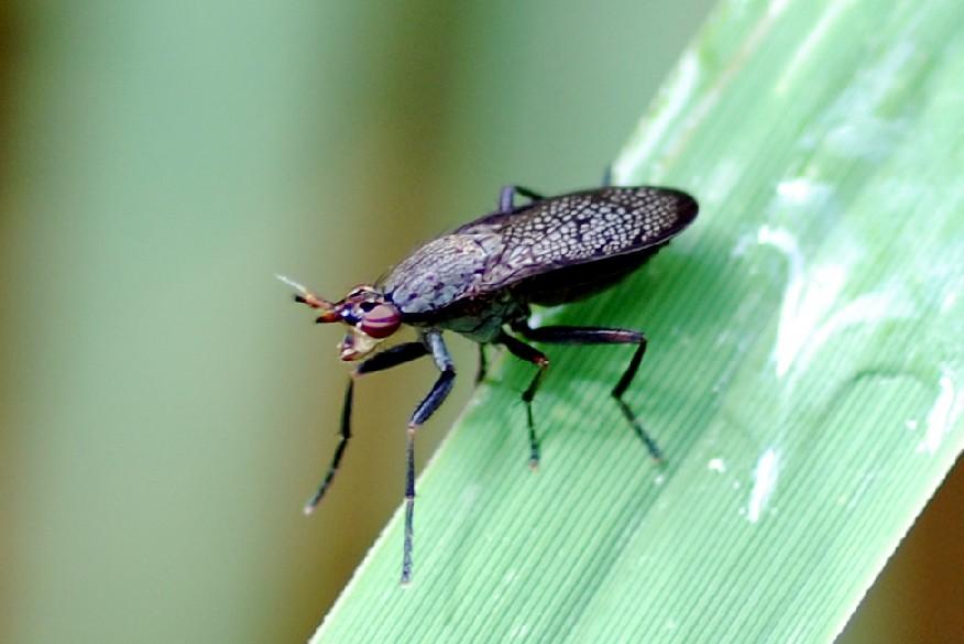 Coremacera marginata -  Sciomyzidae