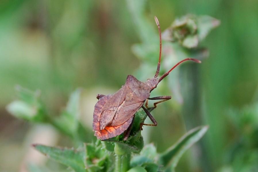 Coreus marginatus - Coreidae