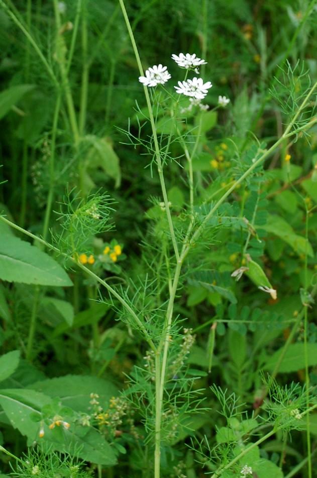 Coriandrum sativum 11