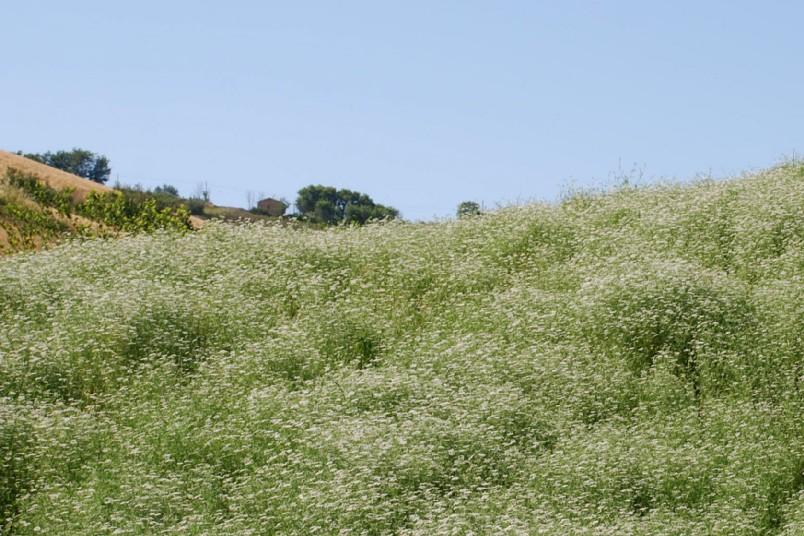 Coriandrum sativum 14