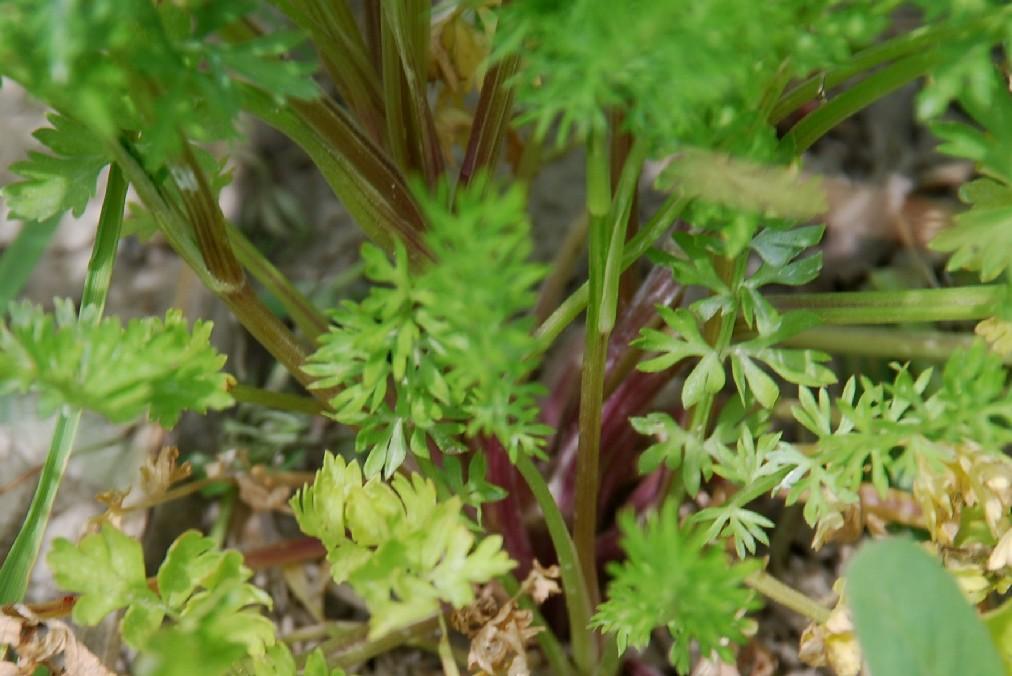 Coriandrum sativum 19