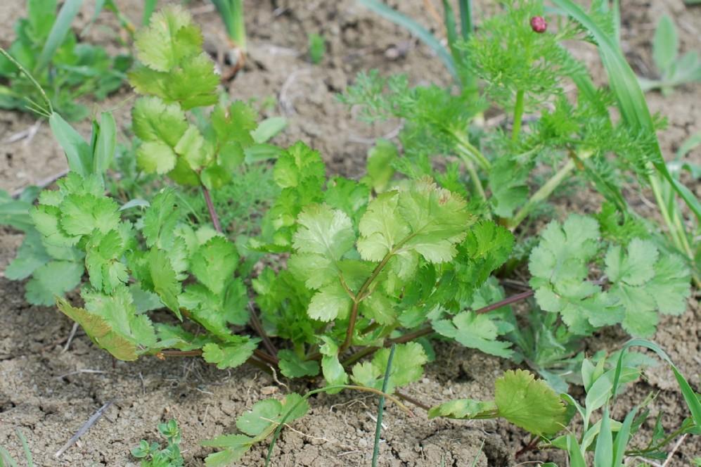 Coriandrum sativum 27