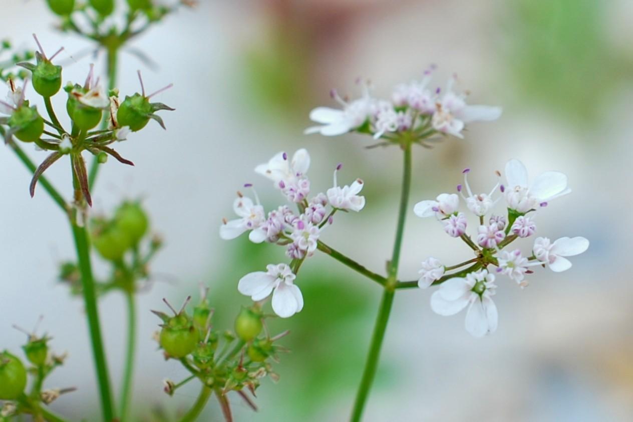 Coriandrum sativum 29