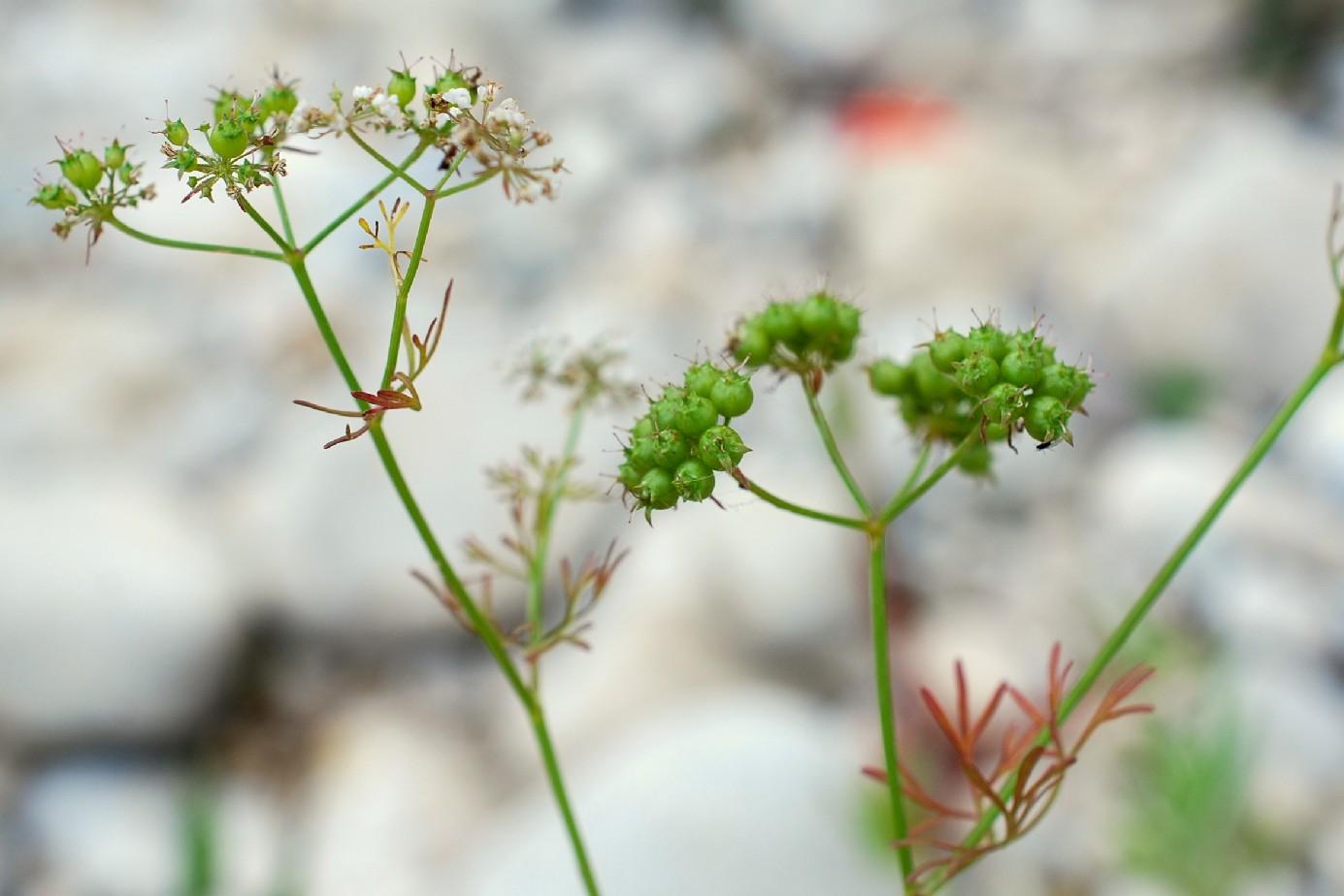 Coriandrum sativum 31