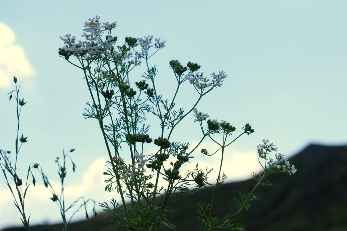 Coriandrum sativum 33