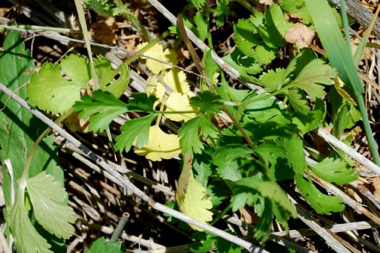 Coriandrum sativum 7