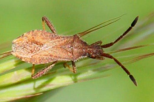 Coriomeris denticulatus - Coreidae